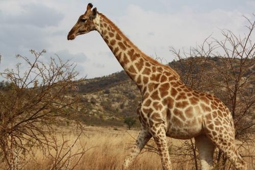 Giraffe Crossing the Road in Pilanesberg National Park