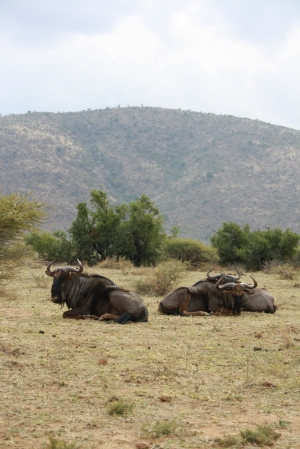 Kudu in Pilanesberg National Park