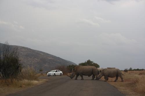 Rhinos Crossing the Road in Pilanesberg National Park